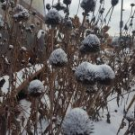 Minnesota Killing Frost Gardener's Page