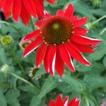 Perennial Sale Echinacea Coneflower Weekly Sales and Specials