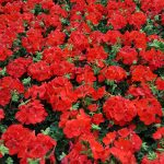 Beisswenger's Annual Seed Geranium Sale Specials